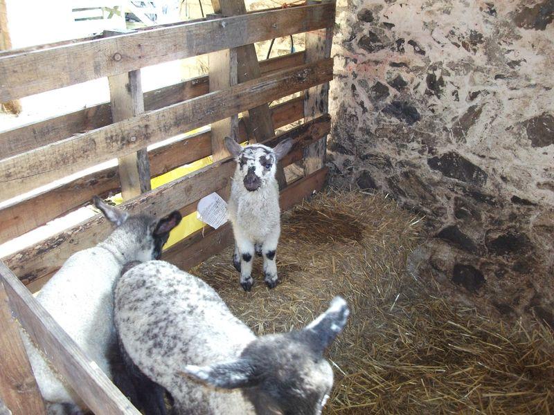 Orphan lamb