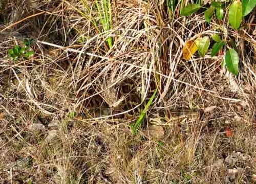 Burmesepythonhidingingrass