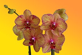 Orchid-1529223__180