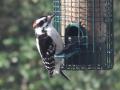 Woodpecker1a