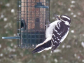 Woodpecker2a