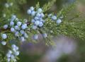 Junniper berries