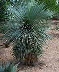 Yucca-1